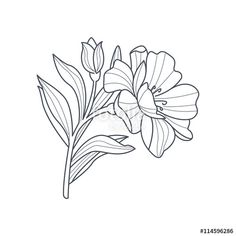 Vector: Calendula Flower Monochrome Drawing For Coloring Book
