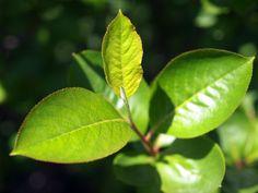 \アロニアの芽、葉ですの。柔らかなしぐさの若葉ですの。 #札幌 2012年6月3日撮影 /\若葉って柔らかい色で実際柔らかいよねっ!/\子猫ちゃんみたいにかわいいんだよ♪/