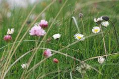 Daisies & Sea Pinks in the marram Outer Hebrides, Daisies, Dandelion, Seasons, Flowers, Plants, Pink, Pictures, Photos