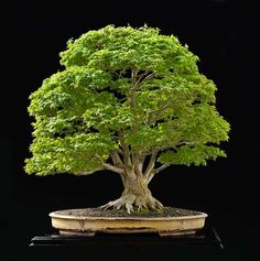 Learn about the living art of Bonsai! We explain how to care, cultivate and maintain your Bonsai tree with easy to understand and step-by-step guides. Bonsai Acer, Bonsai Plants, Bonsai Garden, Planting Succulents, Bonsai Trees, Succulent Planters, Cactus Plants, Cacti Garden, Succulent Wall