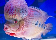 "Flower Horn Fish.  This funny and cute looking fish is called ""Flowerhorn fish"". The bigger and more colorful the fish's hump is, the more expensive it is. This picture is taken at J.J. Mall, Bangkok, Thailand."
