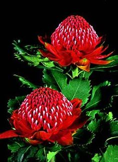 Shady Lady Red is a hardy and vigorous hybrid waratah providing lots of spectacular flowers in spring. Great for use in low maintenance gardens or pots. Exotic Plants, Exotic Flowers, Tropical Flowers, Amazing Flowers, Beautiful Flowers, Australian Wildflowers, Australian Native Flowers, Australian Plants, Australian Native Garden