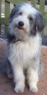 bearded collie working dog-  What a great family dog.