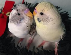 Juvenille Recessive Pied budgies - the one on the right is also Yellow Face 1.