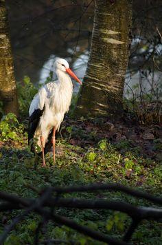 Cigogne - Zoo de Mulhouse - Alsace (68) - France