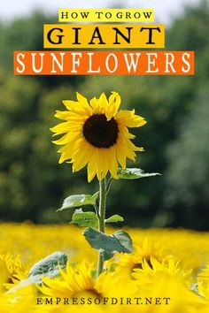 Tips for growing giant, mammoth sunflowers including seed options and best growing conditions. #gardentips #sunflowers #empressofdirt