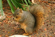 According to Jerry Baker, master gardener, the squirrels eat things in the garden primarily because they're THIRSTY. He suggests keeping a couple of bird baths full of water for them instead of killing or torturing them. HAVE A NO KILL GARDEN Love Garden, Garden Care, Garden Ideas, Garden Tips, What Do Squirrels Eat, Chipmunk Repellent, Tree Rat, Planting Bulbs, Garden Pests