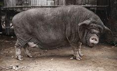 PIG FAT
