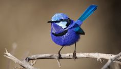 Splendid Fairy-wren– it meets its name. Male birds in reproducing plumage shimmer in electric shades of violet-blue, blue-green and pale-blue, relieved just by a couple of bands of inky black feathers.