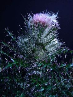 what is edible on thistle