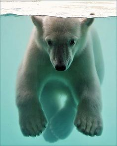 Submerged Polar Bear