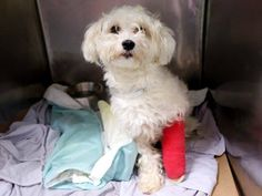 TO BE DESTROYED 07/15/14 Manhattan Center  My name is MICKEY. My Animal ID # is A1006120. I am a male white havanese mix. The shelter thinks I am about 8 YEARS old.  I came in the shelter as a STRAY on 07/10/2014 from NY 10009, owner surrender reason stated was STRAY.