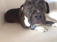 05/20/16--HOUSTON- -EXTREMELY HIGH KILL FACILITY -JUJU - ID#A459539 My name is JUJU I am a spayed female, black and white Pit Bull Terrier. The shelter staff think I am about 3 years old. I have been at the shelter since May 20, 2016. This information was refreshed 3 minutes ago and may not represent all of the animals at the Harris County Public Health and Environmental Services.