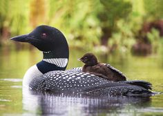 Loon and chick-http://www.wildnorthphoto.com/swans-loons/swans-loons12.html