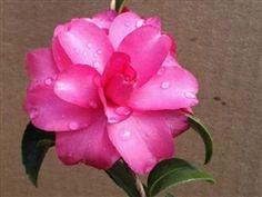 Camellia sasanqua 'Midnight Ruby'
