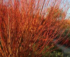 Salix alba Chermesina - Scarlet Willow.  15-20 metres mature height.  Thrives in most soils including those prone to flooding.  www.buythetreeyousee.com from Barcham Trees PLC. email caroline@barchamtrees.co.uk for a wholesale quote.