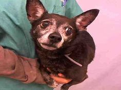 **SENIOR ALERT** - BLAKIE - #A1073628 - Super Urgent Manhattan - NEUTERED MALE BLACK/WHITE CHIHUAHUA SH MIX, 12 Yrs - STRAY NO HOLD Intake 05/13/16 Due Out 05/16/16 - QUIET, ALLOWED ALL HANDLING, NERVOUS BUT DID NOT REJECT Shelter Dogs, Animal Shelter, Rescue Dogs, Animal Rescue, Small Dog Breeds, Small Breed, Dogs Up For Adoption, White Chihuahua, Foster To Adopt