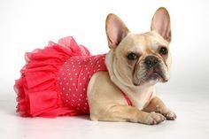 Ballerina frenchie