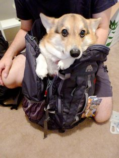 We're packing the corgi for our globe trotting adventure. - Imgur
