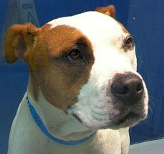 *KERMIT-ID#A731305  Shelter staff named me KERMIT.  I am a neutered male, white and brown Pit Bull Terrier.  The shelter staff think I am about 2 years old.  I have been at the shelter since Aug 02, 2013.