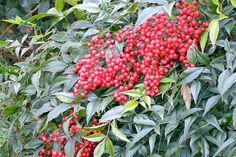 Heavenly Bamboo (Nandina domestica 'Compacta'), 4-5' tall x 3' wide. Red foliage in fall & winter + red berries eaten by birds. Great foundation planting. Does well in partial shade, but brighter in full sun. Prune in spring to keep tidy. Zones 6-11.