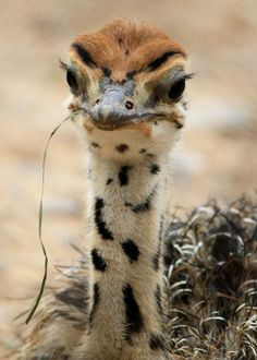 Petit Cabinet de Curiosites — natures-paintbox: Ostrich chick by Marwell. Pretty Birds, Beautiful Birds, Animals Beautiful, Cute Baby Animals, Funny Animals, Wild Animals, Wild Life, Baby Ostrich, Camelus