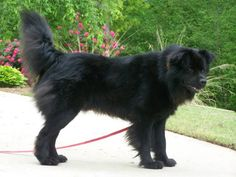 Looks so much like our Bo.  Black Chow Chow Lab Mix