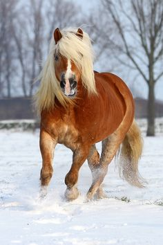 Haflinger in the Snow. Wish it was mine!