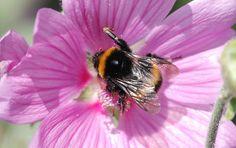 Mehiläinen, Siivet, Raidat, Hyönteinen, Makro, Malva