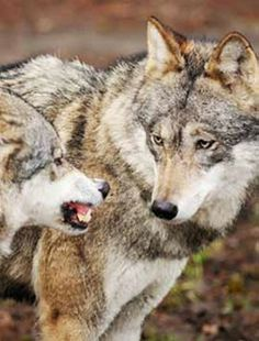Inside the Wolf Pack - Cabin Life magazine