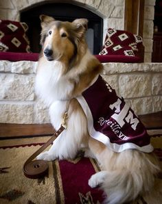 """Great story on """"Miss Rev"""" and her new handler Ryan Kreider with Reveille VIII at home (2014) (Isnt she just gorgeous! WHOOP!)"""