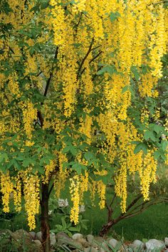 20 of Our Favorite Small Trees That Make a Big Impact Golden chain tree produces hanging clusters to 2 feet long of yellow flowers that resemble wisteria. Learn more about our favorite small trees. Dwarf Trees, Trees And Shrubs, Flowering Trees, Trees To Plant, Climbing Flowering Vines, Golden Chain Tree, Golden Tree, Trees For Front Yard, Small Trees For Garden
