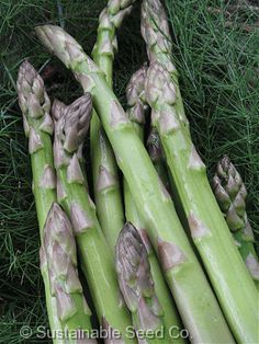 Mary Washington Asparagus - Heirloom