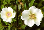 Georgia State Flower-Cherokee Rose is a local designation derived from the Cherokee Indians who widely distributed the plant. The rose is excessively thorny and generously supplied with leaves of a vivid green. In color, it is waxy white with a large golden center. Blooming time is in the early spring, but favorable conditions will produce, in the fall of the year, a second flowering of this hardy plant.