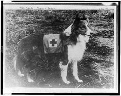 1909 Red Cross Collie Dog- Italy- 1900s