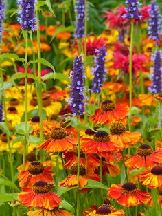 Helenium and Agastache