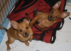 "Pauli and Girli Chihuahua / Dachshund (short coat) Pauli and Girli were found abandoned under a car by a dumpster on July 5th, 2013. They are very close and they need to be adopted together. They are comfortable in their 4'x4"" pen, and sleep in their open canvas crates. They are very sweet and have huge hearts. They both are eager to please and give lots of kisses. Use to a cat, but still learning to ""be nice"", doing better, love to please.  Phone: (870) 577-3744 