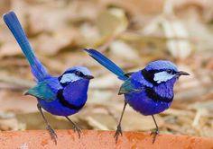 "Michaela Newman called this pic: ""Splendid Fairy Wrens having a boys day out"" Small Birds, Little Birds, Colorful Birds, Pretty Birds, Beautiful Birds, Animals Beautiful, Animals And Pets, Cute Animals, Australian Parrots"