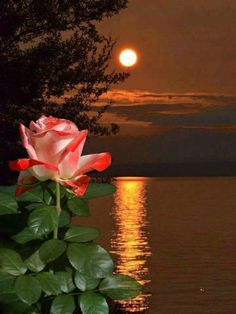 You could almost believe the rose grew there. Beautiful Sunset, Beautiful Roses, Beautiful Images, Beautiful Flowers, Flower Phone Wallpaper, Rose Wallpaper, Foto Picture, Moon Pictures, Growing Roses