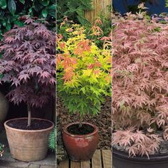 Cheap Bonsai, Buy Directly from China pcs/bag japanese maple seeds toronto maple leafs bonsai tree seeds perennial flowers plant pot maple for home garden Patio Plants, Outdoor Plants, Garden Trees, Garden Pots, Container Plants, Container Gardening, Small Gardens, Back Gardens, Japanese Maple Garden