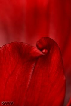 Red Curtain (by Red Flowers, Red Roses, Colors Of Fire, I See Red, Simply Red, Red Curtains, Shades Of Red, Ruby Red, Orange