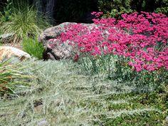 Eriogonum grande var. rubescens - Coastal Rose Buckwheat and Artemisia californica 'Canyon Gray' - Canyon Gray Coastal Sage