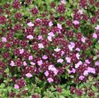 Thymus 'Coccineus Group' Great as a scented ground cover