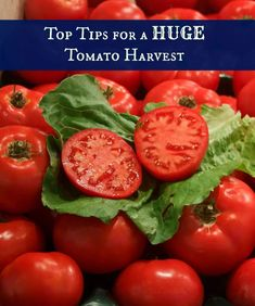 Top Tips for a huge tomato harvest! Growing Peas, Growing Tomatoes, Growing Vegetables, Hydroponic Growing, Hydroponics, Hydroponic Gardening, Organic Gardening, Gardening Tips, Texas Gardening