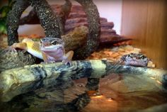 Leopard gecko babies hangin' out at the watering hole