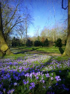 Crocuses, Cambridge, England.
