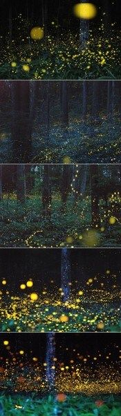 Firefly forest, Chugoku, Japan.