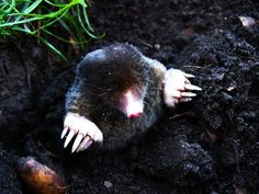 Get Rid Of Moles & Burrowing Animals With Dawn Dish Soap – Frugal Blossom Mole Removal Yard, Moles In Yard, Getting Rid Of Gophers, Covered Patio Plans, Bug Spray Recipe, Weed Killer Homemade, Lawn Care Tips, Dawn Dish Soap, Garden Pests