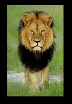 Cecil the Lion: Zimbabwe searches for hunter who killed iconic big cat. Shot with an arrow then chased for two days until he was skinned and beheaded: Zimbabwe's most famous lion, Cecil, becomes a hunting trophy. Sunday, Jul 26th 2015