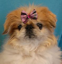 """Nikki is a tiny, 6-pound Pekingese senior, a very gentle soul, debuting for adoption today at Nevada SPCA (www.nevadaspca.org).  We rescued her from another shelter where she had reportedly been surrendered by her previous owner because she was getting """"batted around"""" by the family's large dogs.  Nikki loves tender people and she enjoys the company of other small dogs.  She is about 12 years of age, spayed, and reportedly housetrained.  Please help us find Nikki a hero."""